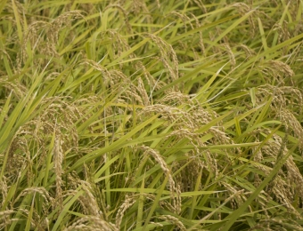 Rice field pic